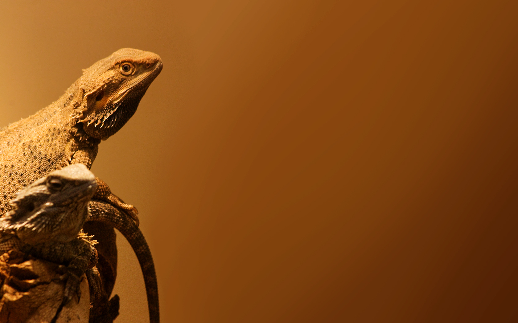Bearded dragons by ollite20 on deviantart bearded dragons by ollite20 bearded dragons by ollite20 voltagebd Choice Image