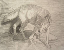 Wolfie In Water