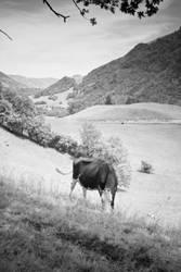 swiss cow Gruyere