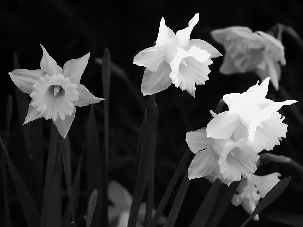 Monochrome Daffs by davincipoppalag