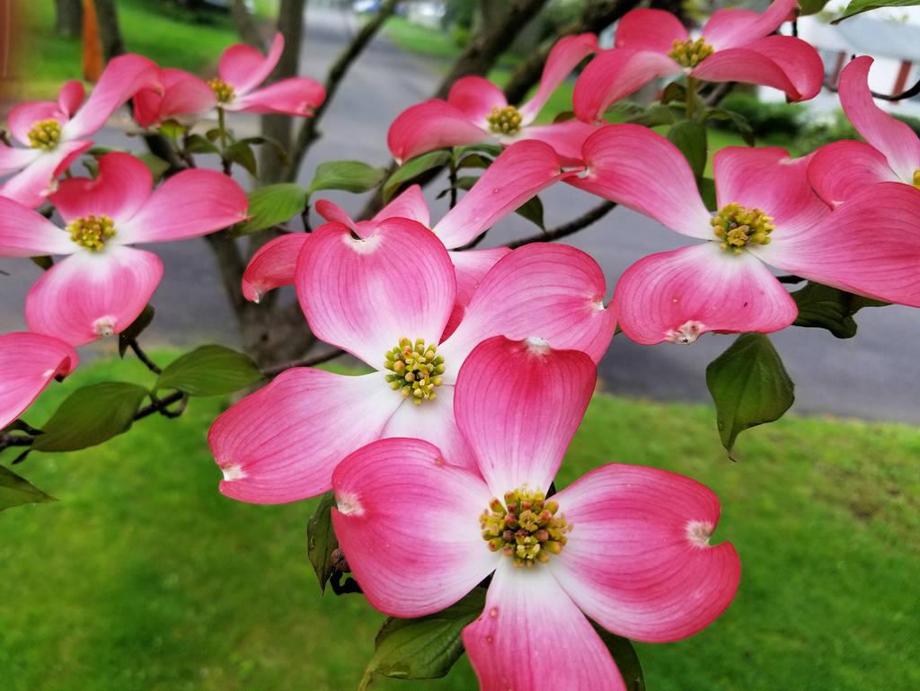 My Beautiful pink dogwood 2 by davincipoppalag