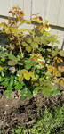 Rosebush planted by davincipoppalag