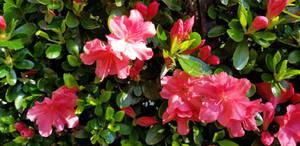 My beautiful azalea