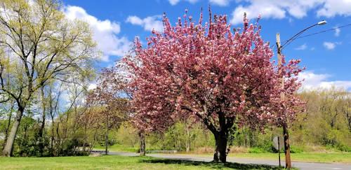 A pretty tree.. crabapple maybe?