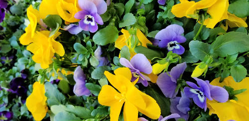 Patch of pansies