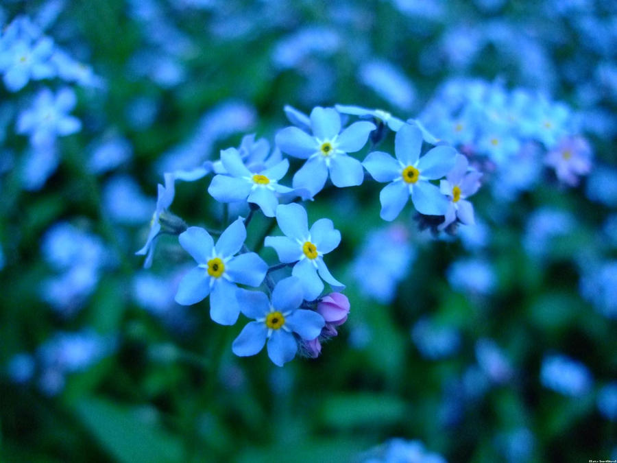 Forget Me Not Flowers 6 By Snorasaurus On Deviantart