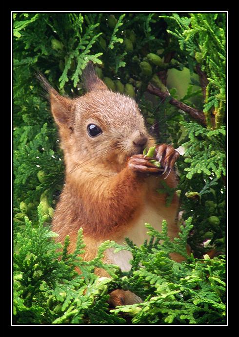 Squirrel by Mikkoliini