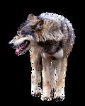 Wolfcutout
