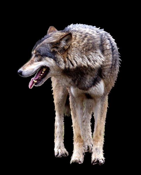 صور ذيب صور ذئاب سكرابز ذئاب صور ذيب مفرغة صور wolfcutout_by_raynexstorm-d6ohfdr.png