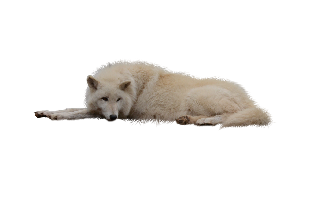 Laying White Wolf PNG