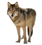 Timber wolf PNG