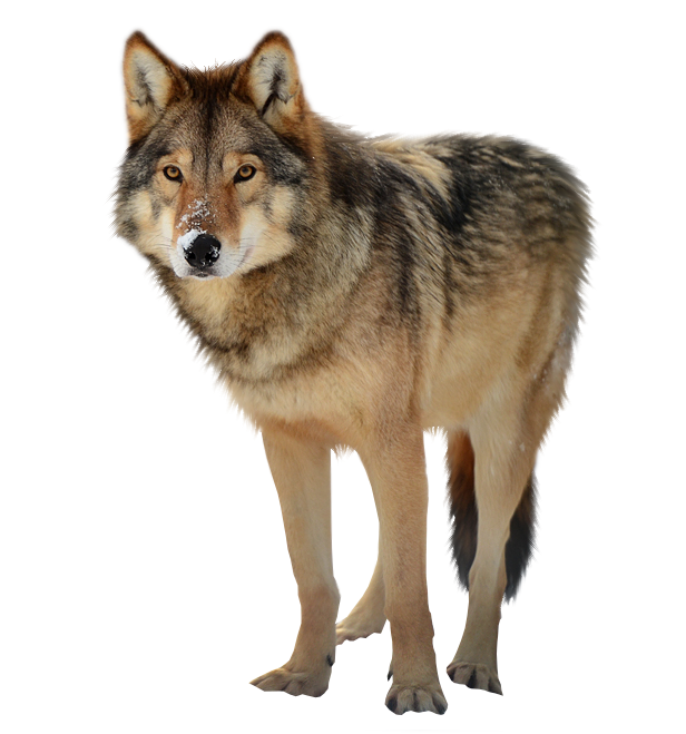 Timber wolf PNG by RAYNExstorm