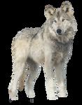 Jericho, Wolf PNG