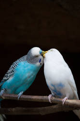 Kissing Birds by RAYNExstorm