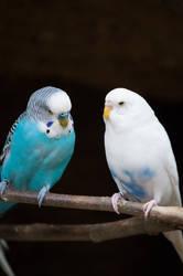 Kissing Birds 1 by RAYNExstorm