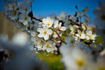 Cherry Blossoms in D.C. 2 by TyLong