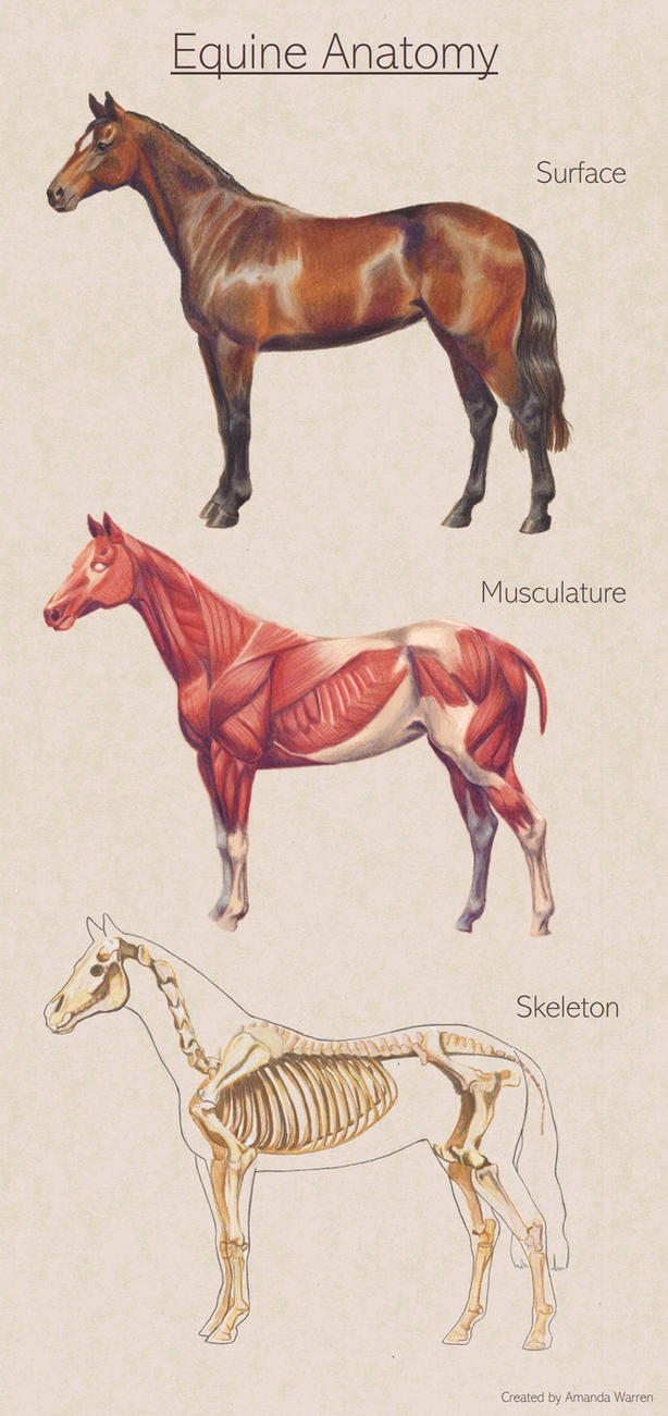 Equine Anatomy by PonyCool42 on DeviantArt