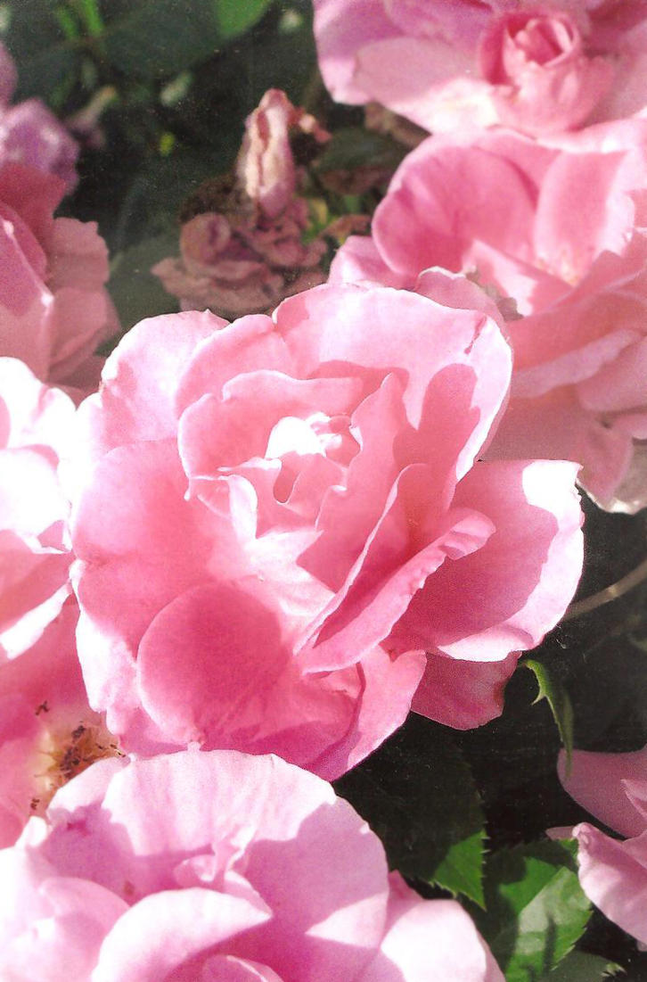 Rose Garden By Khimera On Deviantart