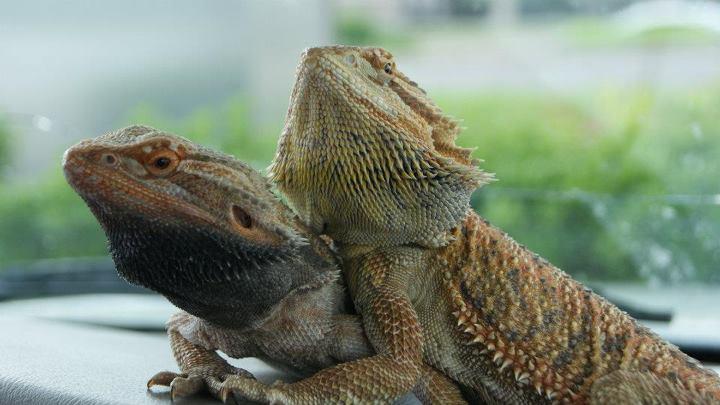 Lizard Lovins by Khimera