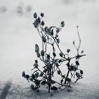 The white season by Peterix
