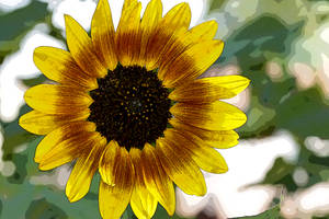 Sun Flower by CarlMillerPhotos