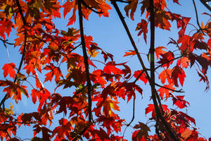 Red Maple Leaves by CarlMillerPhotos