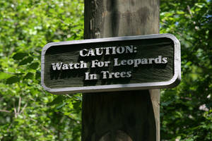 Caution - Leopards In Trees by CarlMillerPhotos