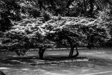 Juniper Trees by CarlMillerPhotos