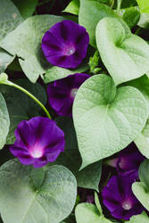 Morning Glories by CarlMillerPhotos