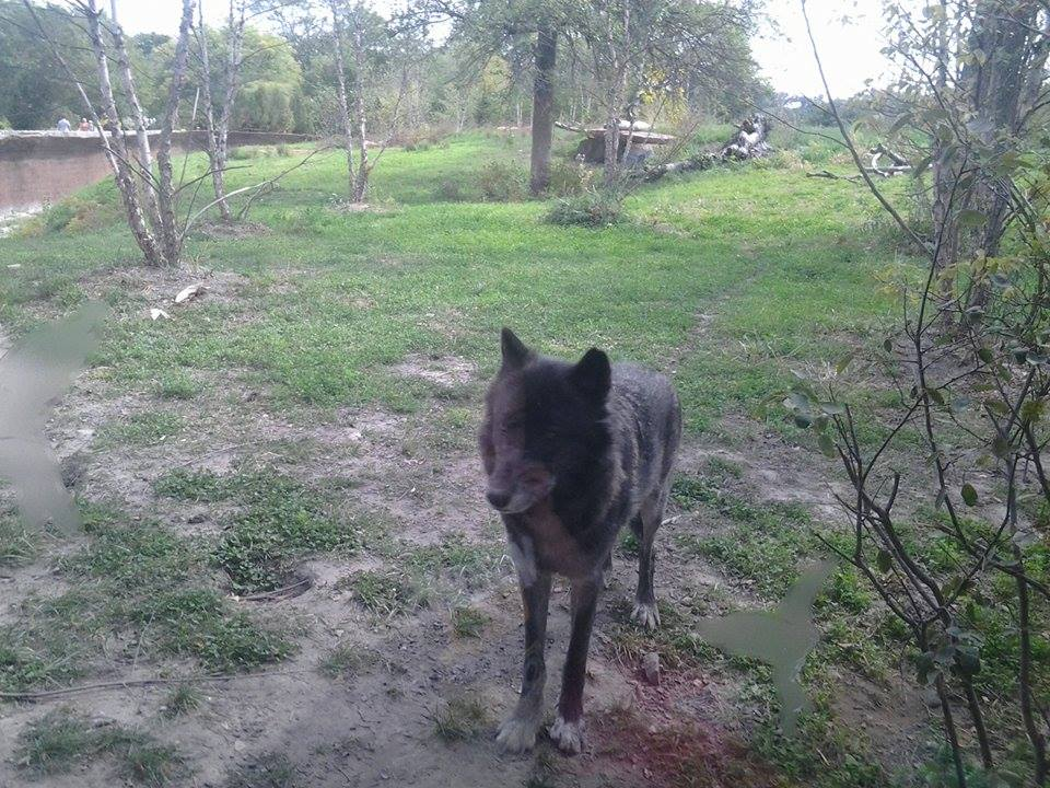 Black Wolf1 by PatchKun
