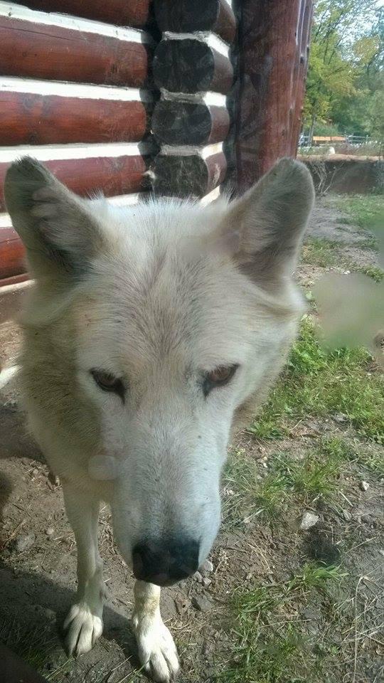 White Wolf1 by PatchKun