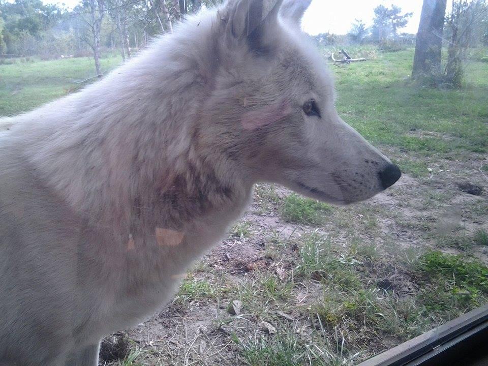 White Wolf2 by PatchKun