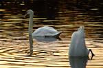swans in sunlight