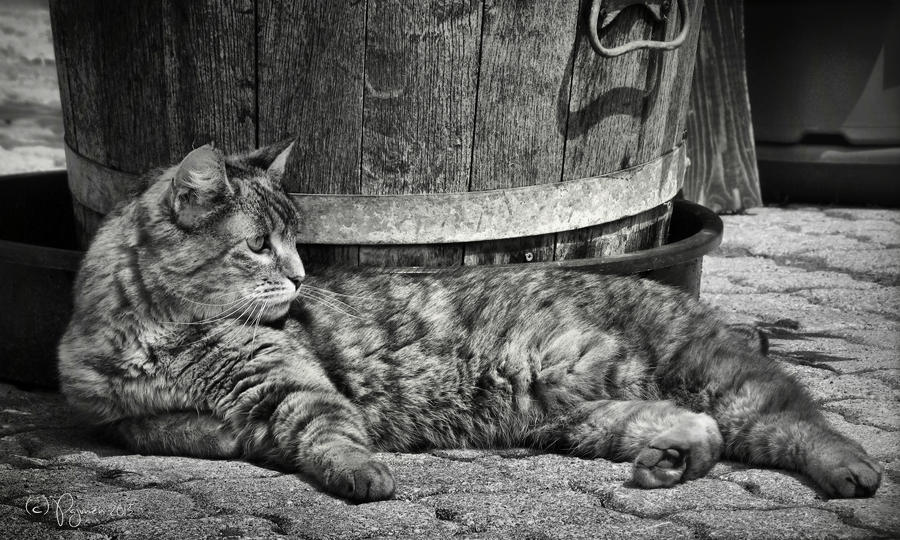 Lazy Cat by Pajunen