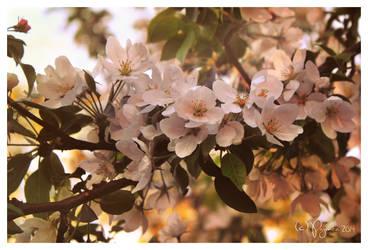 Apple flowers by Pajunen