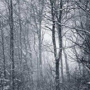 Trees in blizzard