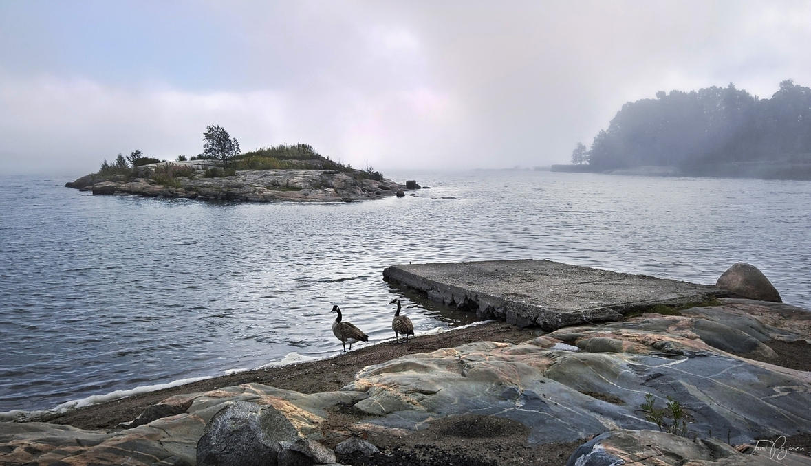 Canada geese on the sea shore by Pajunen