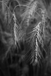 Harvest by Pajunen