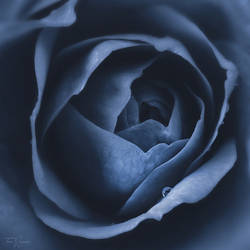 Blue Rose by Pajunen