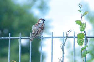 Little sparrow on the fence II