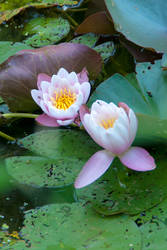 Water lilies in white-rose