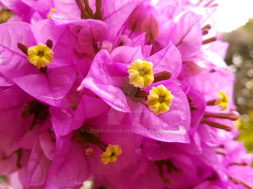 Pink Flowers by lolyounoob