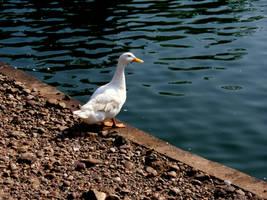 Duck by melissadallison