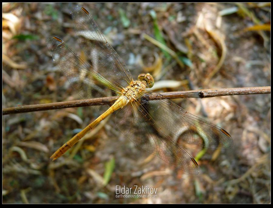 Dragonfly from Tashkent 1 by EldarZakirov