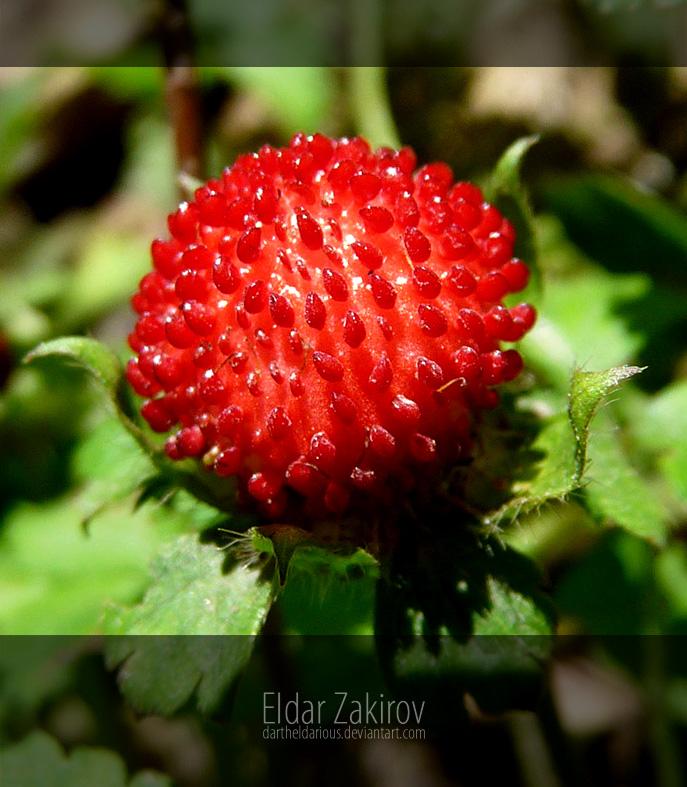 Duchesnea indica. Berry by EldarZakirov
