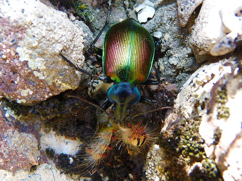 Calosama sycophanta cought caterpillar by EldarZakirov