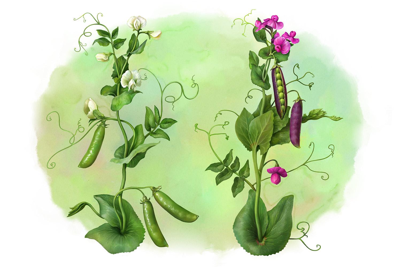 Botanics. Pea plants (1) by EldarZakirov