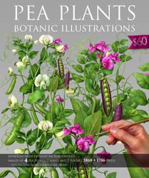 Painted Botanic Illustrations of Pea Plants