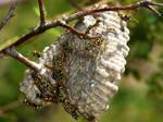 Polistes Dominula (The European paper wasp) colony