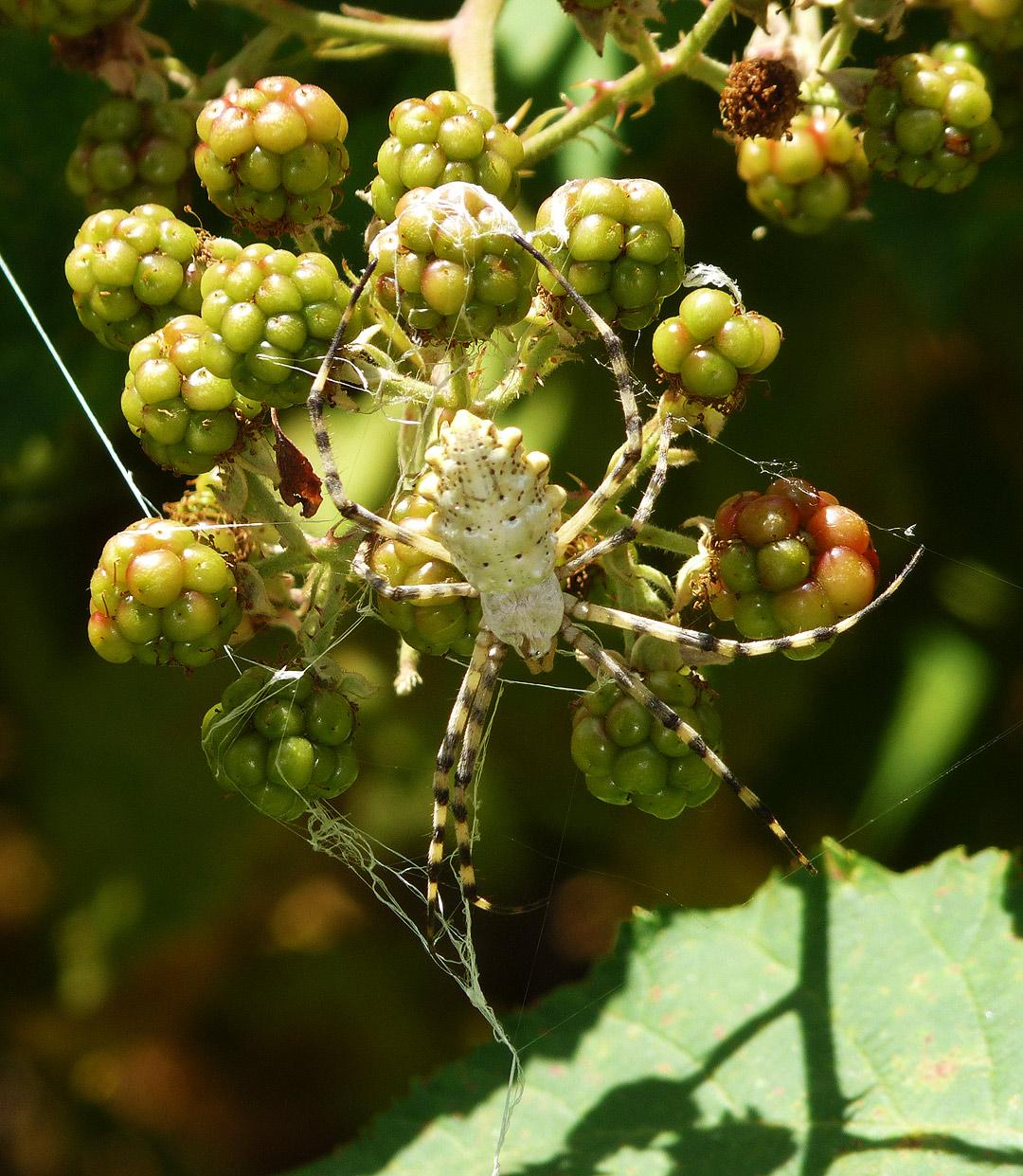 The spider Argiope lobata is making catching web by EldarZakirov